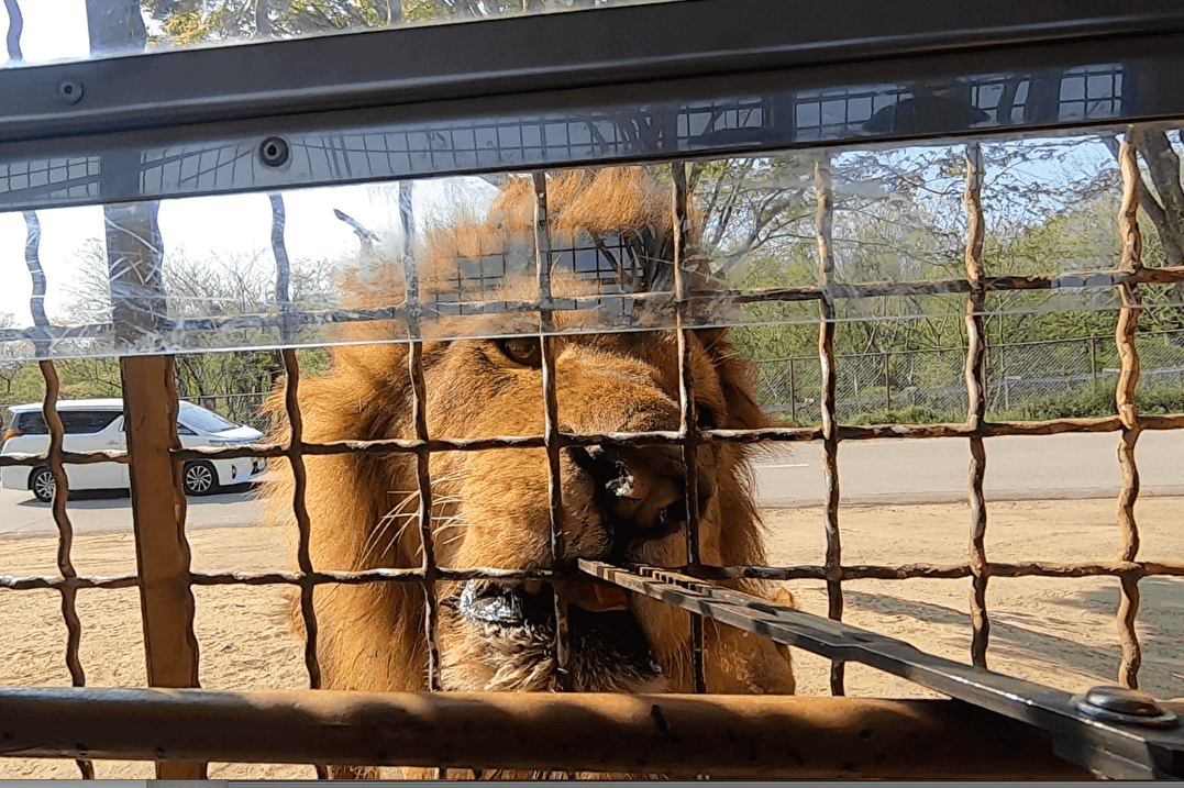【大分 宇佐】ライオンの迫力満載!! アフリカンサファリを体験!